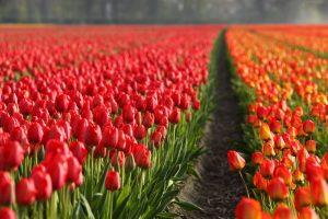 שדות פרחים בהולנד